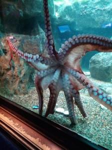RailsConf 2014 - Shedd Aquarium - Octopus